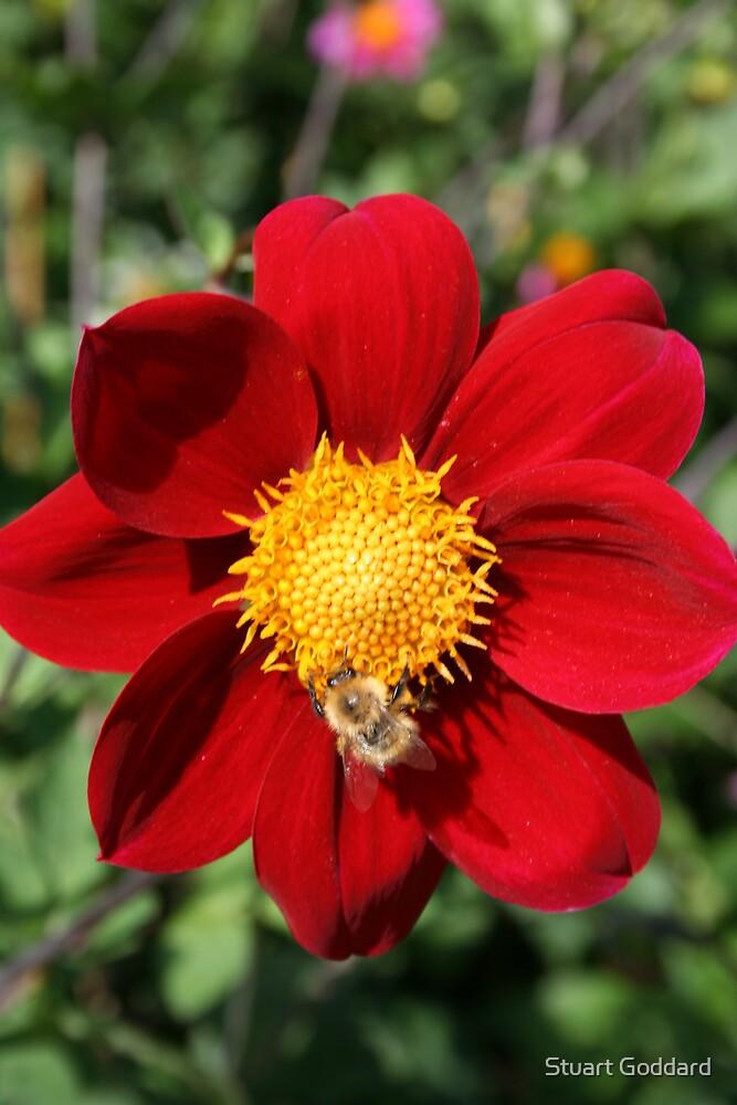 Red Flower by Stuart Goddard