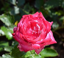 Pink Rose by mouchette111