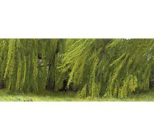 Wind in the Willow Photographic Print