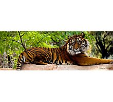 Lounging Tiger (Panthera tigris) Photographic Print