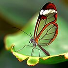On the Edge Glasswing - Greta oto by Lepidoptera