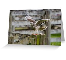 Hawk - New Zealand Greeting Card