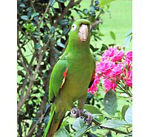 White Eye Conure,  Photographic Print