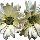 Two White Daisies by Susan Savad