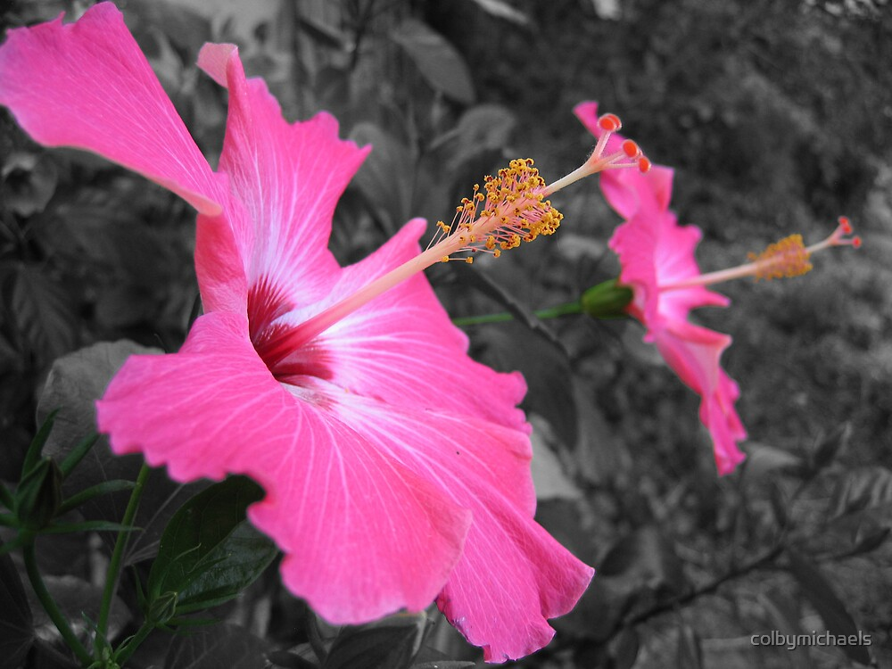 Hibiscus by colbymichaels