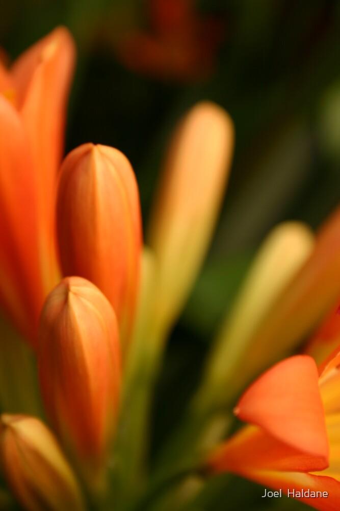 Orange Bloom by Joel  Haldane