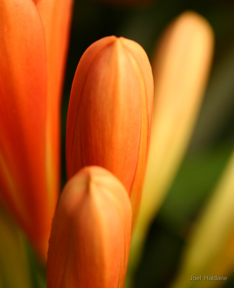 Orange Bud by Joel  Haldane