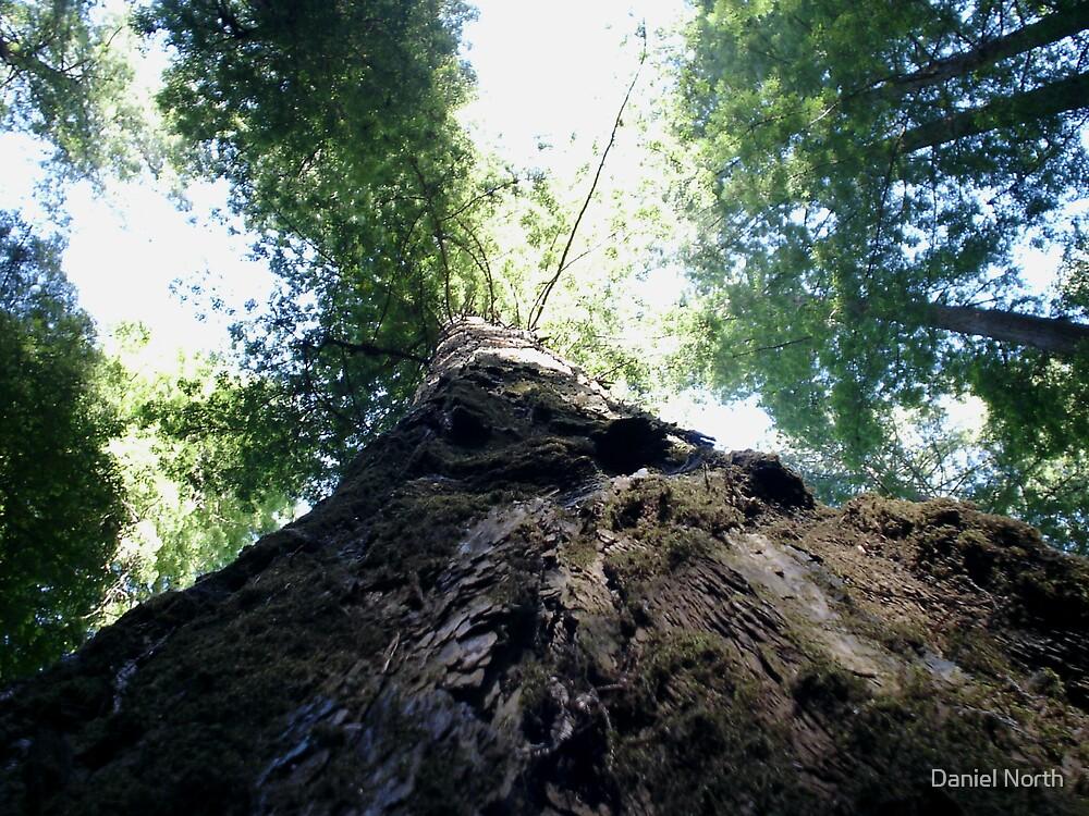 Redwoodish Tallish by Daniel North