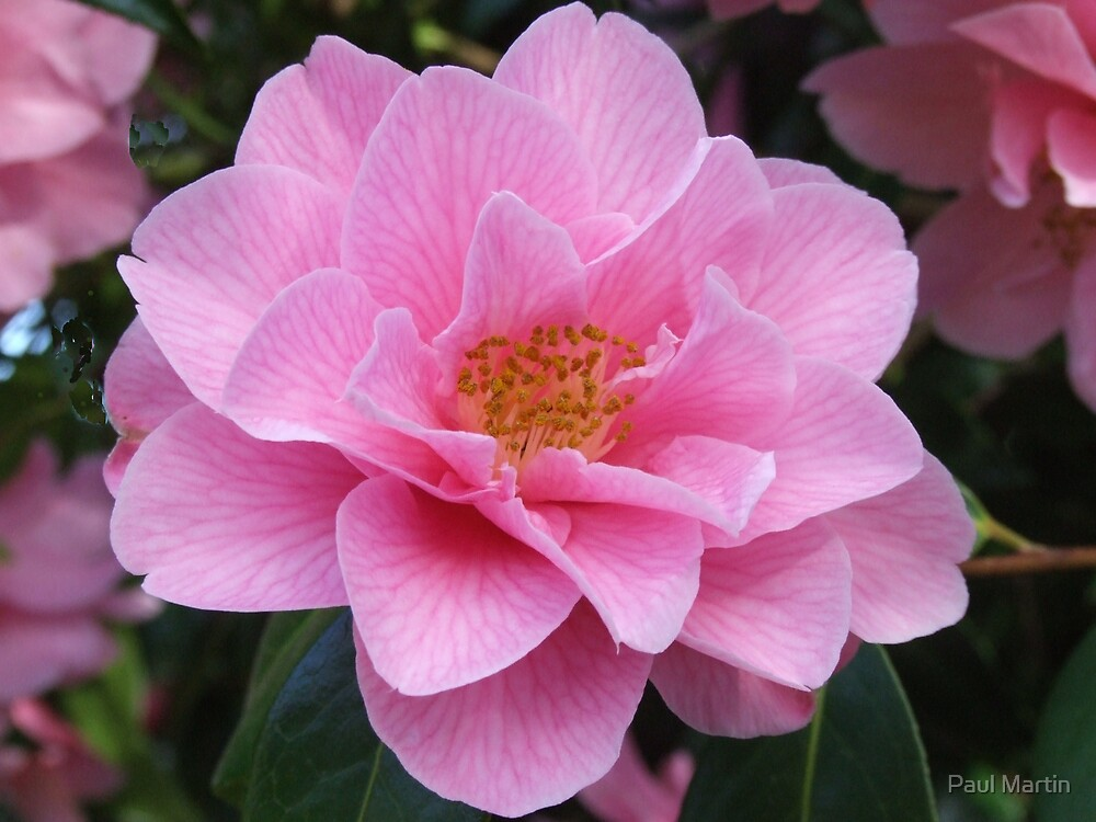 The Pink Camellia by Paul Martin
