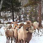Meeting Bighorn sheep II  by zumi