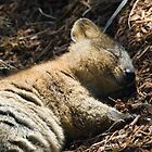 Quokka Dreaming by Lass With a Camera