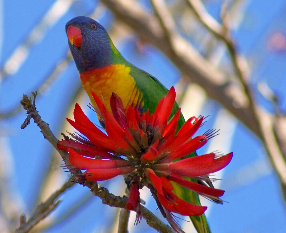 Rainbow Lorikeet by ottz0