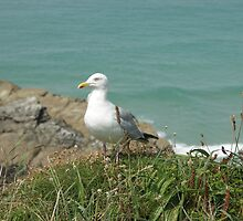 seagull by claracluck