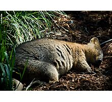 Dreaming Quokka Photographic Print