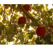 Apples & Leaves Photographic Print