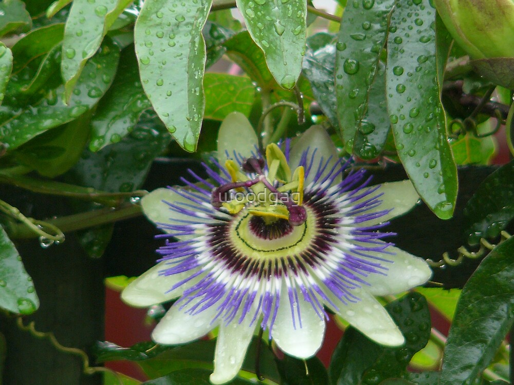 Passion Flower by woodgag