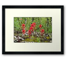 Castilleja, commonly known as Indian paintbrush Framed Print