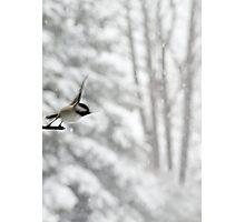 Chickadee Taking Flight in Winter Photographic Print