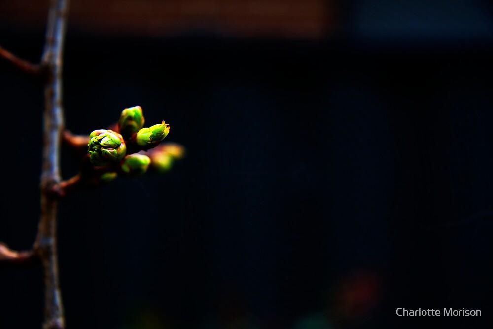 Spring Buds by Charlotte Morison