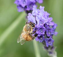 Lavender Honey by saharabelle