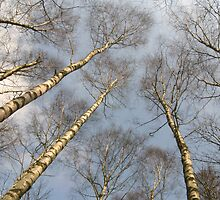 Birch by Kye Valongo