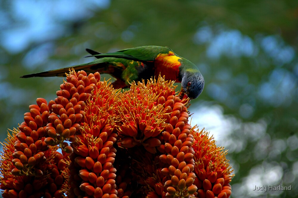 Rainbow Lorikeet by J Harland