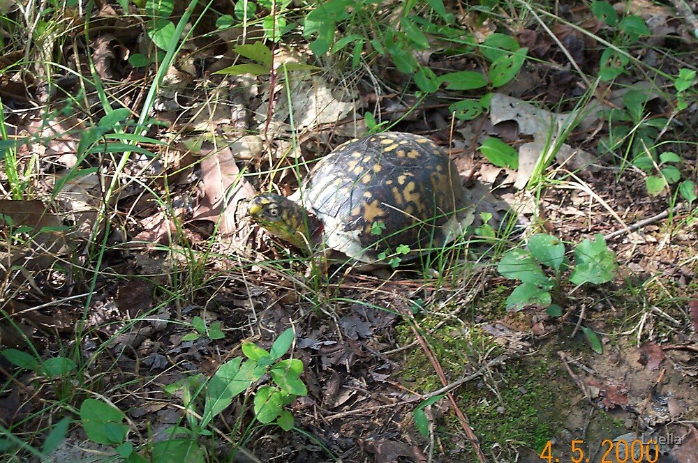 Turtle by Luella