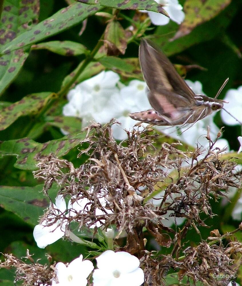 Hummingbird Moth by Cateyes
