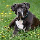 American Pit Bull Terrier - Canis lupus familiaris by Matsumoto