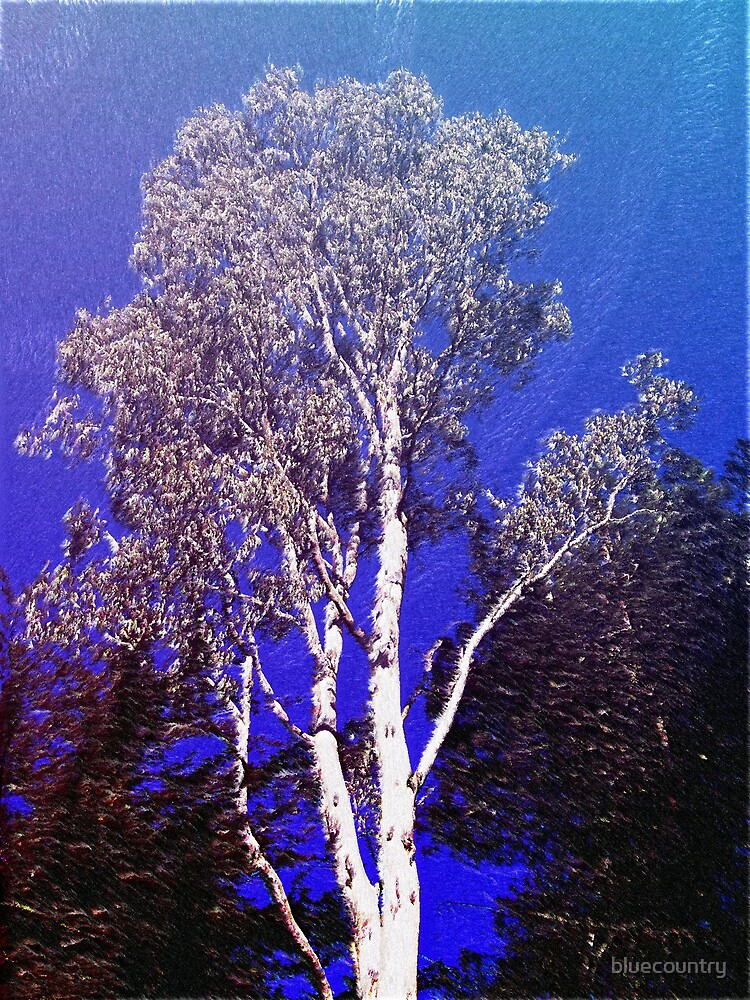Eucalypt by bluecountry