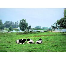 Contented cows... Photographic Print