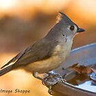 Tufted Titmouse by Otto Danby II