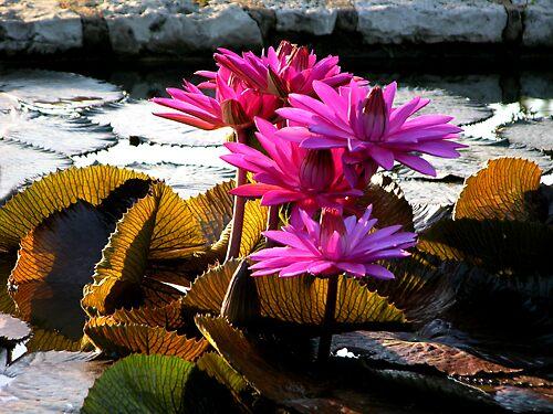 """Water Lilies, Missouri Gardens"" by John Lautermilch"