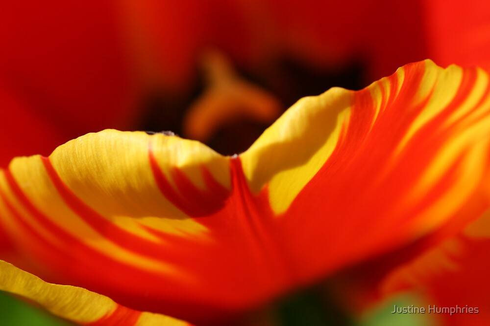 Tulip Petal by Justine Humphries