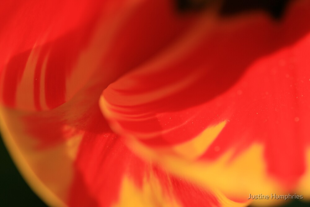 Tulip Petals by Justine Humphries