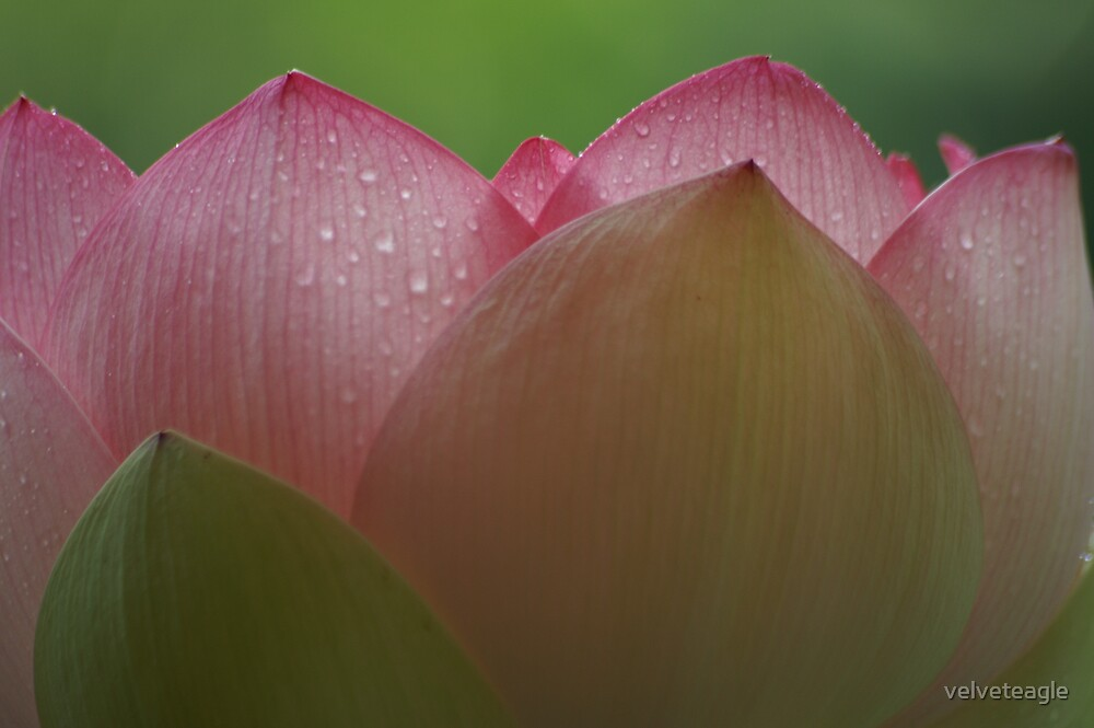 Petals Of Lotus by velveteagle