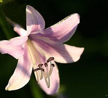 Hosta Flower I by Craig Cooper
