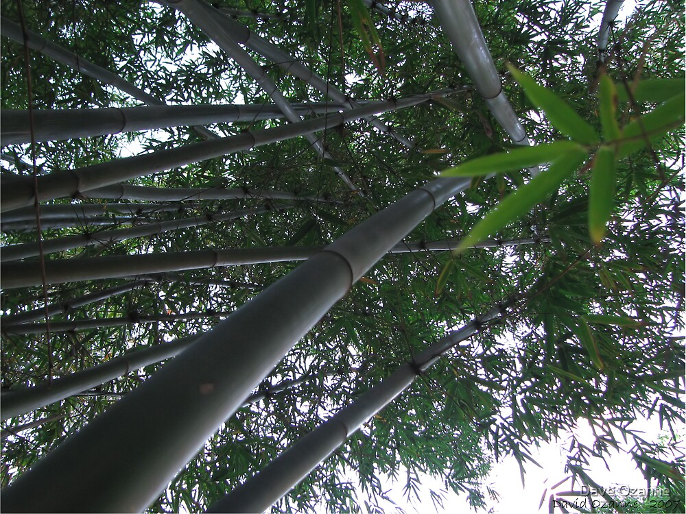 Bamboo by Dave Ozanne