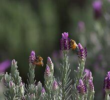 Lavender by Nicholas Coote