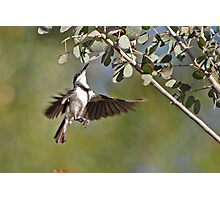 Banded Honeyeater ~ Dinner the hard way  Photographic Print