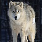 Timber Wolf by Yannik Hay