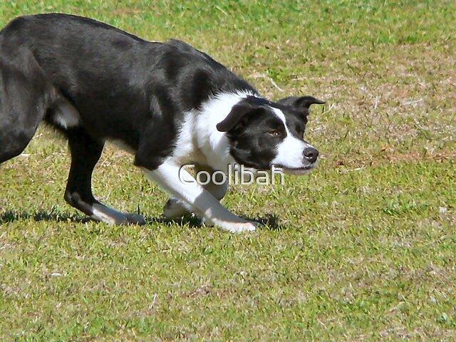 Trial dog Nyngan 06 by Ruth Anne  Stevens