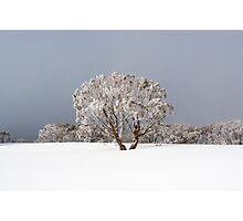 Summit Snow Gum  Photographic Print