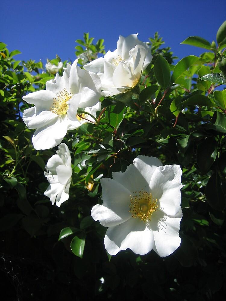 climbing rose by odeliska