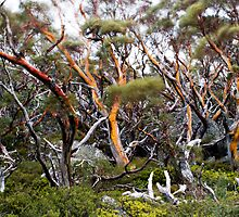 Snow Gums by James  Messervy