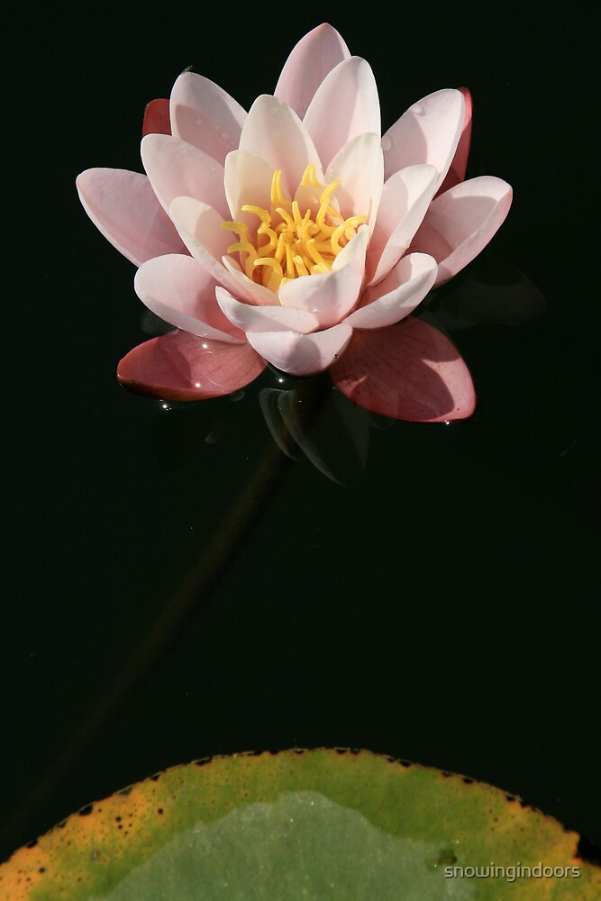 Water Lily by snowingindoors