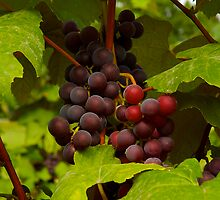 wine grapes ready to pick by Jeffrey  Sinnock