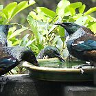 Tui   -  No Harold, you've had too much sugar water to drink.......! by Roy  Massicks