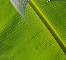 Banana Palm by Evania