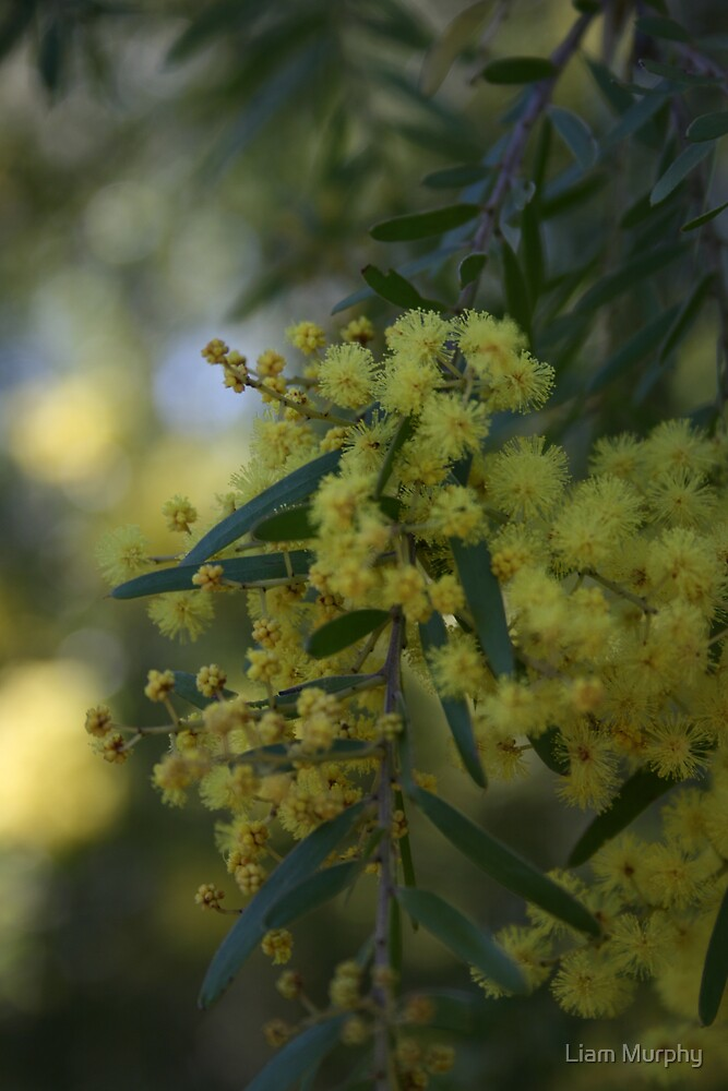The Wattle by Liam Murphy